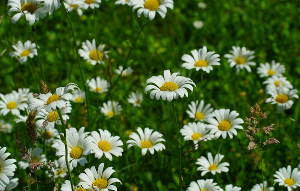 Picture Grass, Spring, Chamomile