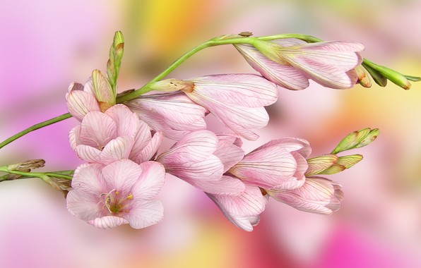 Picture Flowers, pink, Leaves