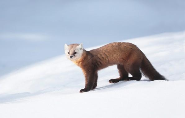 Picture snow, fur, sable