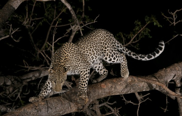 Picture night, predator, leopard, wild cat, on the tree