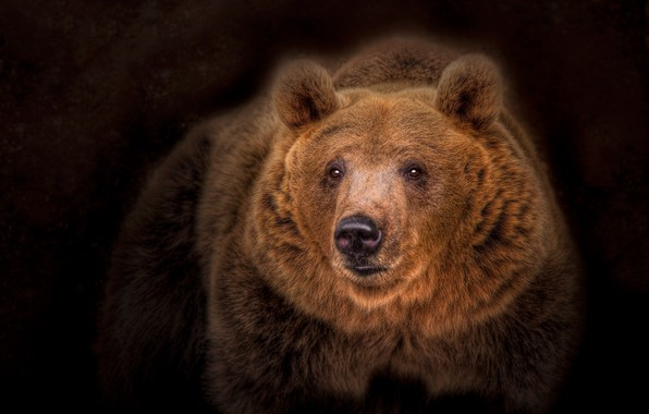 Picture portrait, bear, the dark background, the Bruins