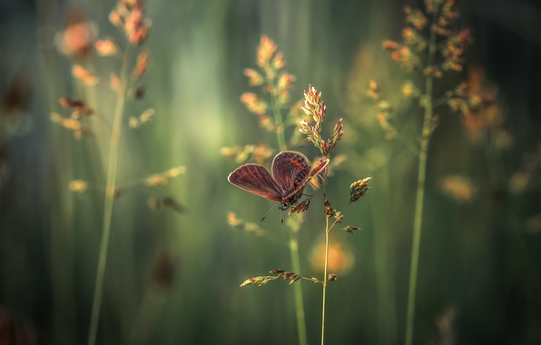 Picture grass, macro, butterfly, spikelets