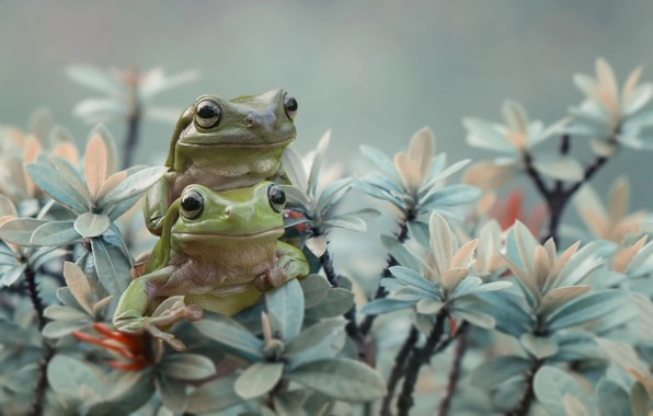 Picture animals, leaves, branches, pair, frogs, amphibians