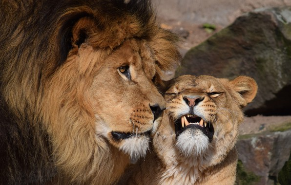 Picture Love, Lioness, Leo, Pair, Tenderness, Animals