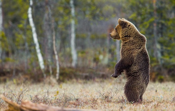 Picture forest, nature, pose, animal, predator, bear, stand, Peter Grischott