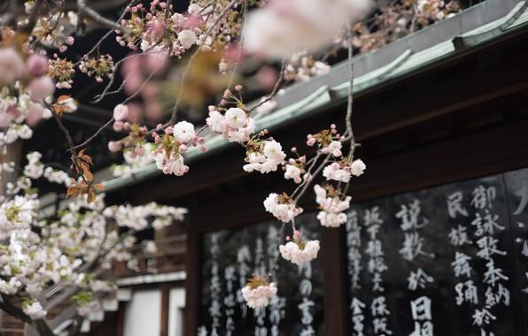 Picture characters, temple, Japan, Sakura spring