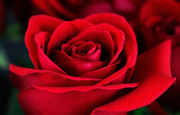 Picture macro, rose, red