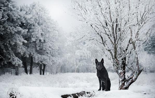 Picture winter, snow, trees, nature, dog, German shepherd
