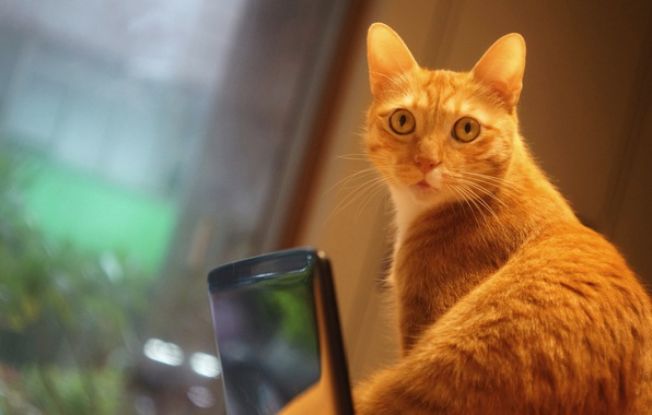 Picture cat, cat, look, wall, portrait, surprise, window, red, cool, phone, face, photoshoot, gadget, the room, …