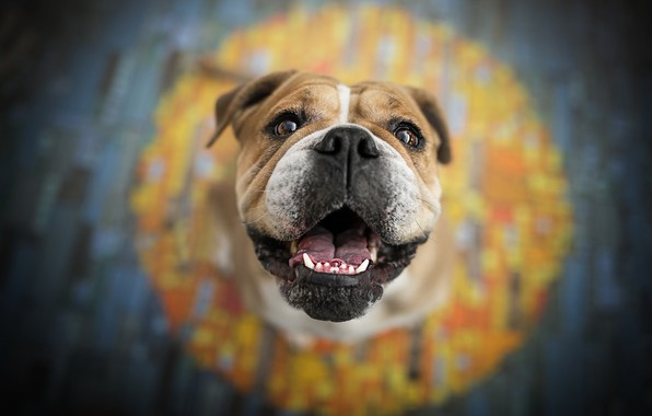 Picture look, face, background, dog, English bulldog