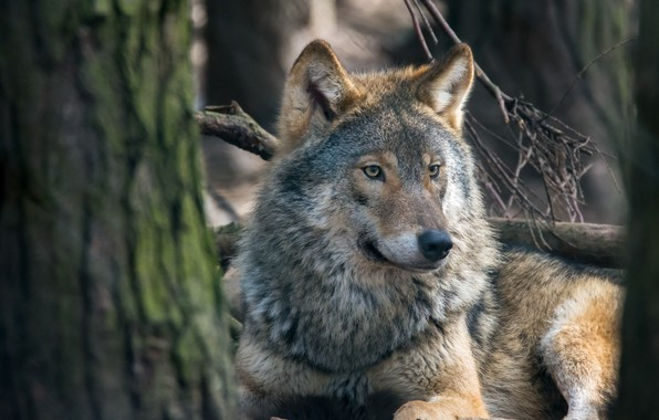 Picture wolf, portrait, predator, the orderly forest