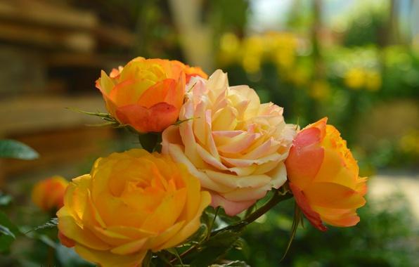 Picture Roses, Roses, Bokeh