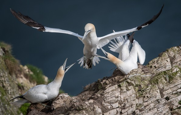 Picture nature, bird, stone, Gannet