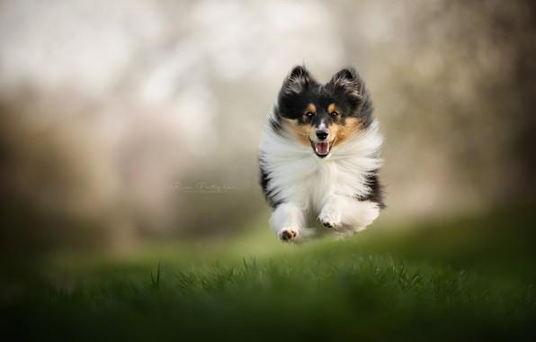 Picture grass, mood, jump, dog, flight, walk, bokeh, Sheltie, Shetland Sheepdog