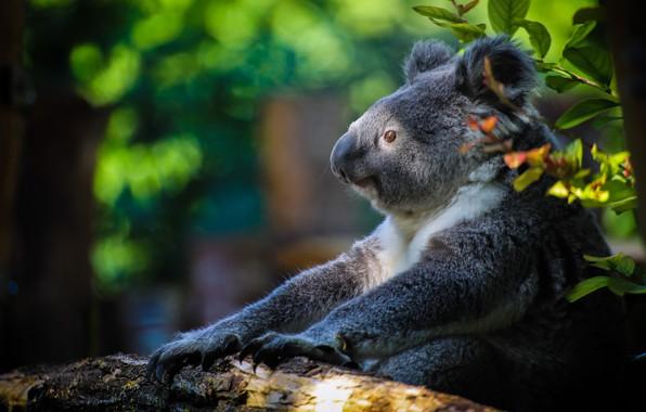 Picture bear, Koala, Marsupials bear