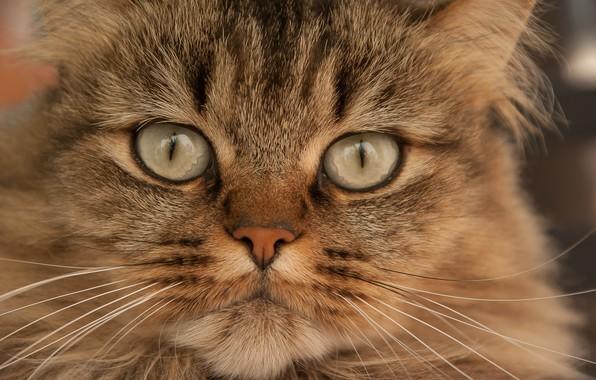 Picture cat, cat, look, portrait, muzzle, cat