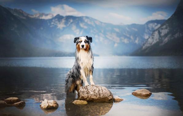 Picture mountains, nature, lake, stones, dog, Australian shepherd, Aussie