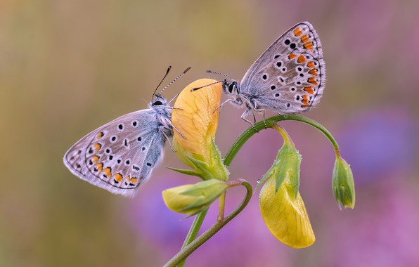 Picture flower, butterfly, a couple, Blues