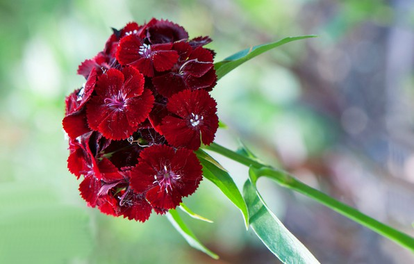 Picture macro, petals, inflorescence, Chinese carnation