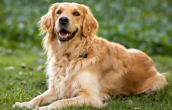 Picture handsome, grass, Retriever