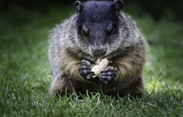 Picture grass, walnut, marmot, bokeh