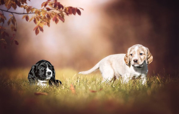Picture dogs, puppies, a couple, bokeh, doggie