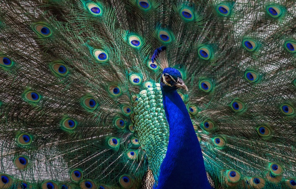 Picture animals, look, light, blue, green, bird, tail, peacock, handsome, breast, opened, fluffed