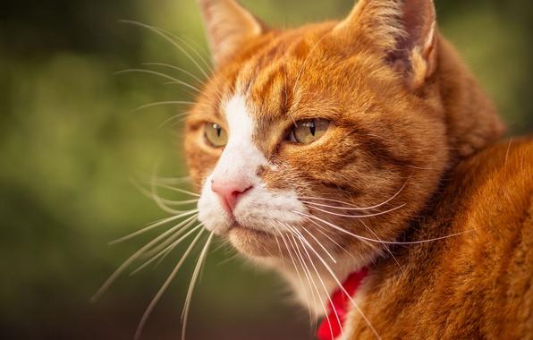 Picture cat, cat, mustache, look, portrait, muzzle, red
