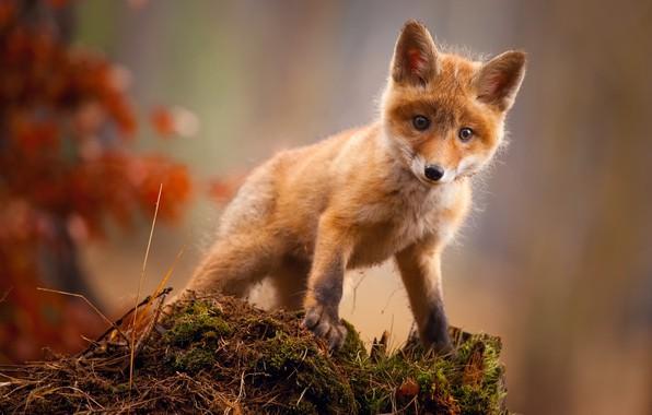 Picture autumn, Fox, Fox, Fox