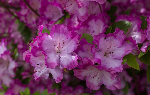 Picture macro, petals, Azalea
