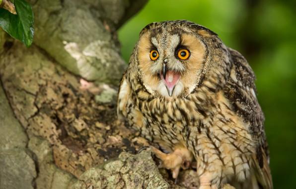 Picture owl, bird, Long-eared owl