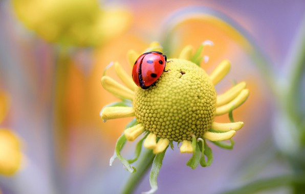 Picture flower, nature, ladybug