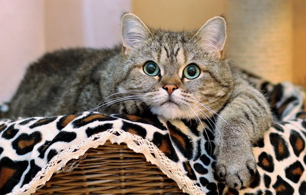 Picture cat, look, basket