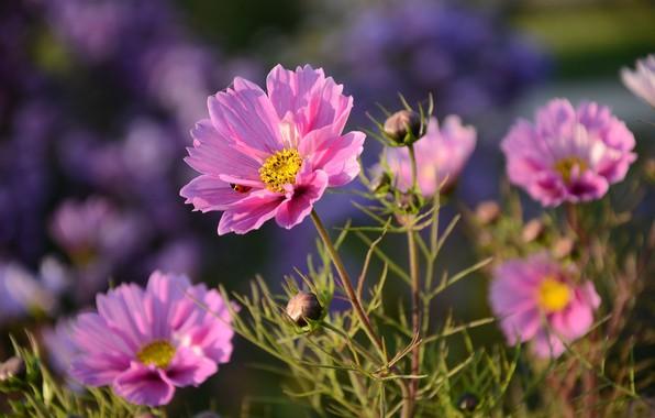 Picture summer, macro, flowers, nature, ladybug, buds, kosmeya