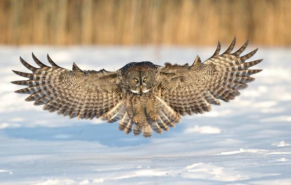 Picture winter, snow, owl, flight, landing, wings