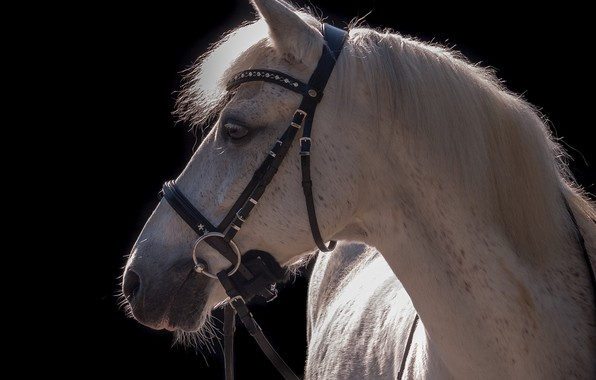 Picture face, light, grey, horse, horse, contrast, mane, profile, the dark background, harness, bridle