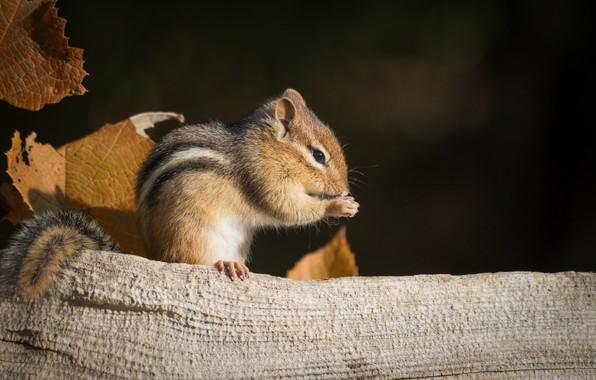 Picture animal, Chipmunk, pinstripes