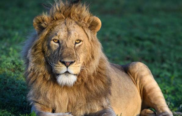Picture Leo, Africa, wild cat