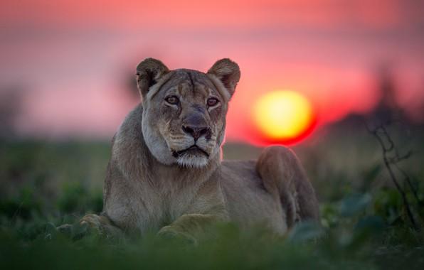 Picture look, sunset, portrait, lioness, wild cat