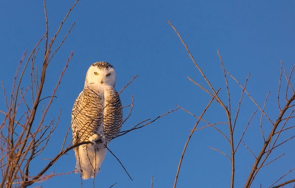 Picture the sky, branches, owl, bird, snowy owl