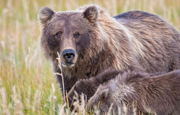 Picture grass, look, bears, bears, bear