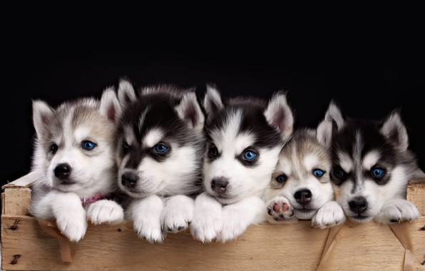 Picture puppies, husky, faces