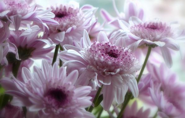 Picture macro, petals, pink, gerbera