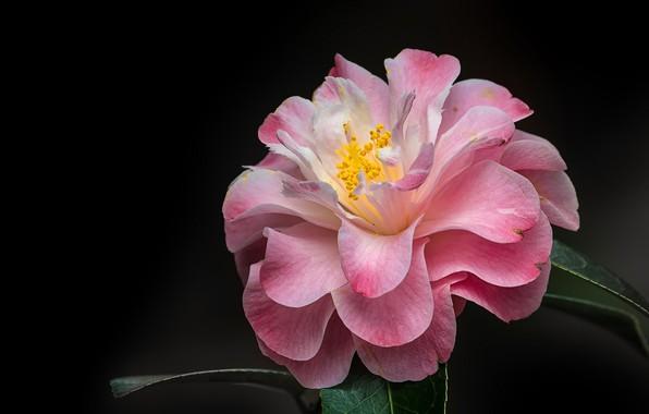 Picture macro, petals, black background, Camellia