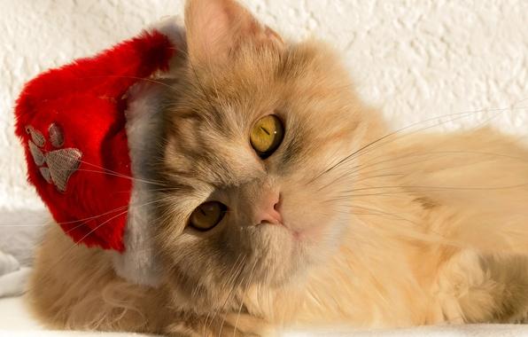 Picture cat, cat, look, muzzle, Santa, cap, red cat