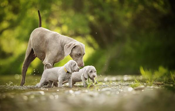 Picture dogs, puppies, walk, kids, bokeh, twins, The Weimaraner, Weimar pointer