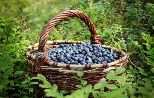 Picture berries, basket, blueberries