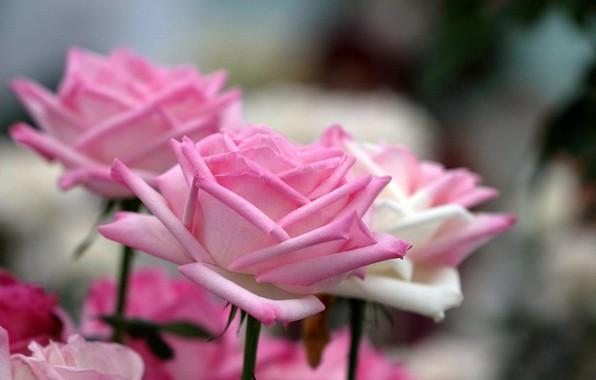 Picture roses, petals, buds, bokeh