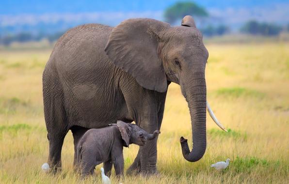 Picture birds, elephant, Africa, elephants, the elephant, elephant, herons