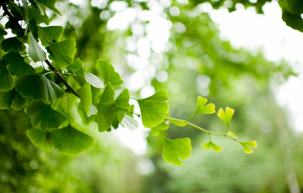 Photo wallpaper leaves, branch, Ginkgo